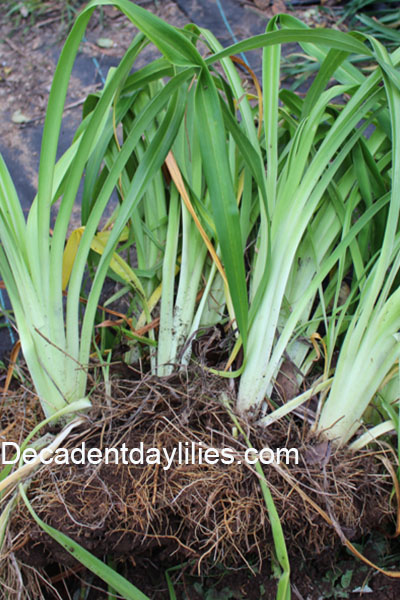 Step by Step How to Divide Daylilies, split, separate, break up, division, flowers, plants, garden, foliage, flowers, bloom