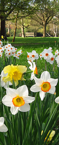 Daffodil Planting Guide & Bulb Care, daffodil bulbs, spring daffodil spring flowering bulbs.