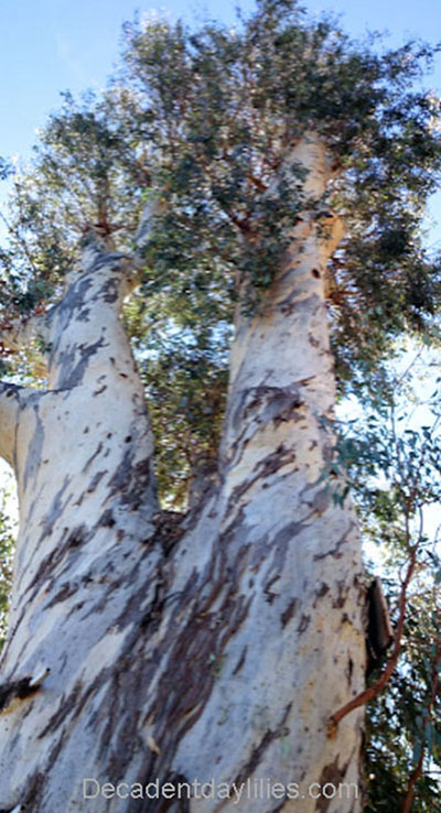 Eucalyptus Gum Tree Facts bush native greenery timber