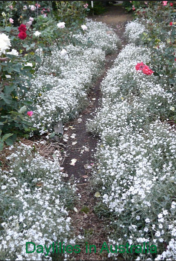 Snow in Summer Groundcover flowers plants garden