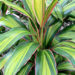 Cordylines Tropical Plants Diseases