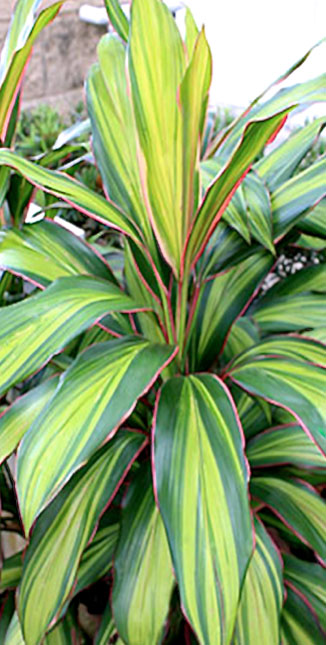 Cordylines Tropical Plants Diseases garden leaves flowers