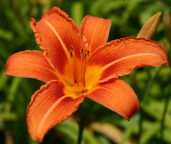 Tropical daylily plant gardening Queensland