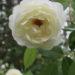 Rose Planting Plant Care