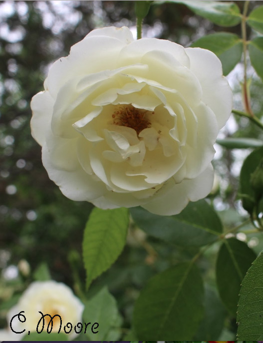 Rose Planting Plant Care Gardening Flowers. Rose bush, Roses