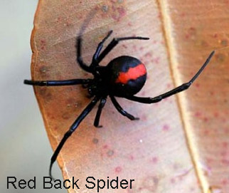 best natural spider pest control methods Red back spider