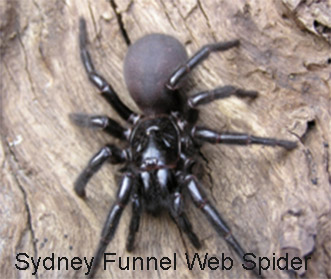 best natural spider pest control methods Sydney Funnel Web Spider