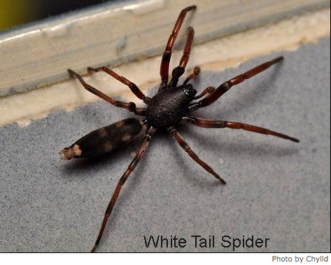 best natural spider pest control methods White Tail Spider