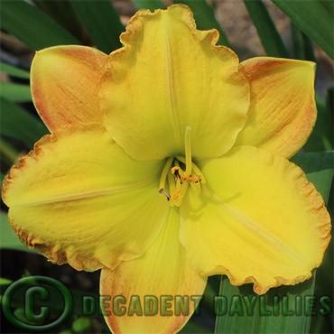 daylily daylilies