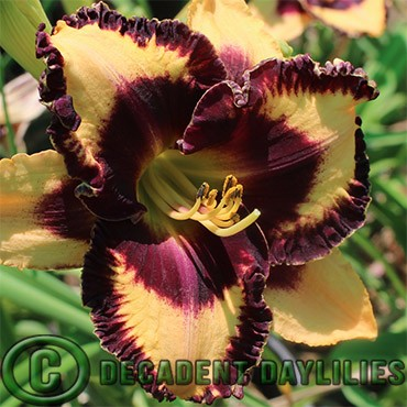 what do daylilies look like in winter