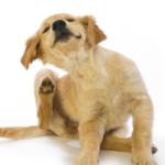 Golden retriever puppy scratching fleas