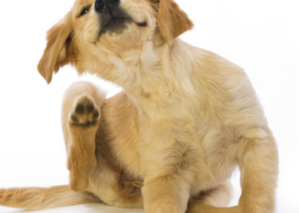 Golden retriever puppy scratching fleas