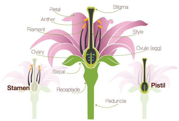 Parts of a Flower Pollination and fertilisation
