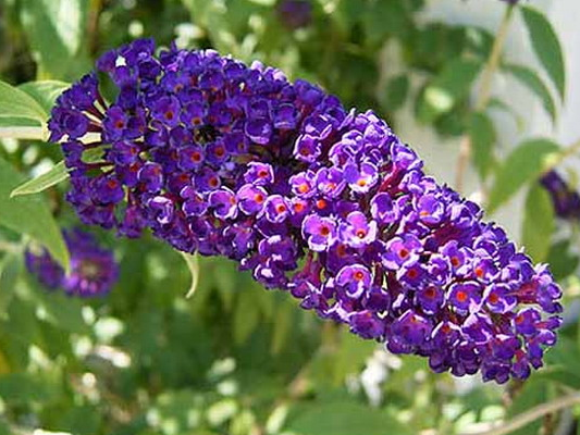 Attracting and benefiting from our most beautiful pollinators. Buddleia Black Knight