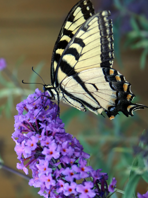 Buddleia Buddleja All You Wanted to Know about Butterfly Bush Garden Shrub