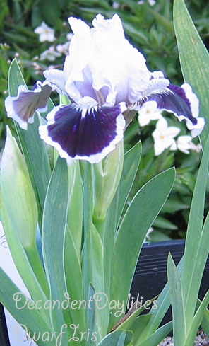Dwarf Bearded Iris Easy Care