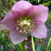 Hellebore Plants Winter Roses