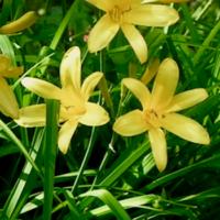 Hemerocallis lilioasphodelus, yellow daylily plant, lemon lily