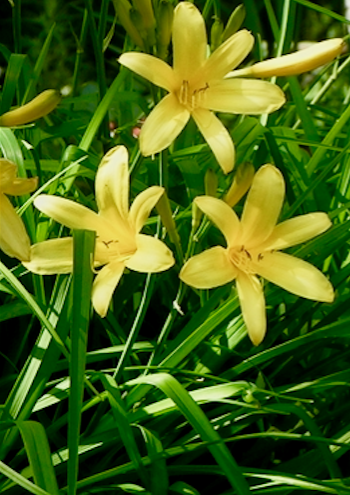 Hemerocallis lilioasphodelus, yellow daylily plant, lemon lily, breeding way back