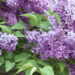 Lilacs How to Plant and Grow