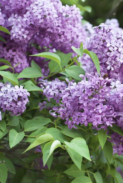 Lilac Bush Best Growing Conditions for Lilacs