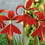 Sprekelia Jackobean Lily vibrant red with long yellow stamens