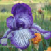 Bearded Iris Growing Planting Tips