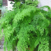 Maidenhair Fern Where to Grow