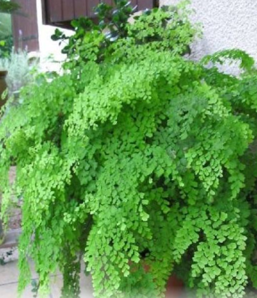 Tips on How to Grow Maidenhair Fern, where to grow home and garden