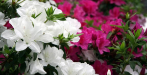 Azaleas Keeping Azalea Shrubs Healthy