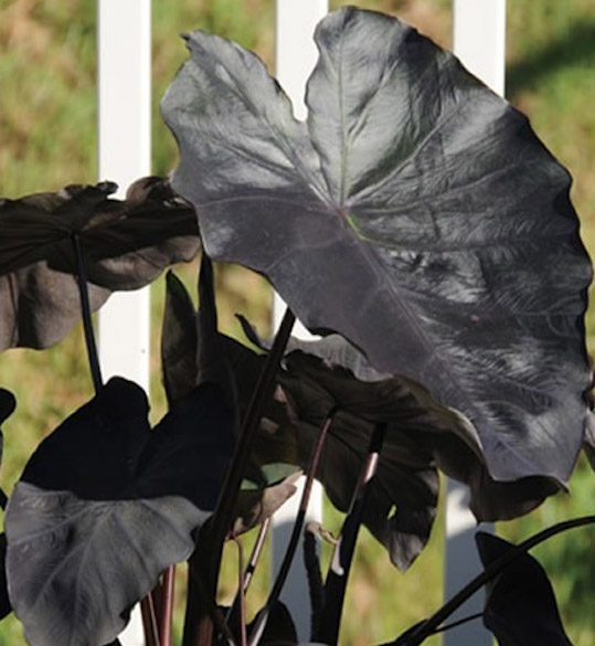Black Magic Elephant Ear Taro Colocasia Esculenta