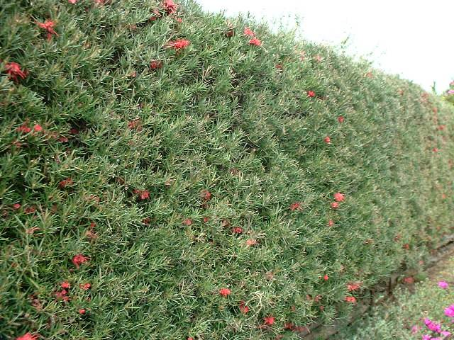 Grevillea Hedge Screening Plant
