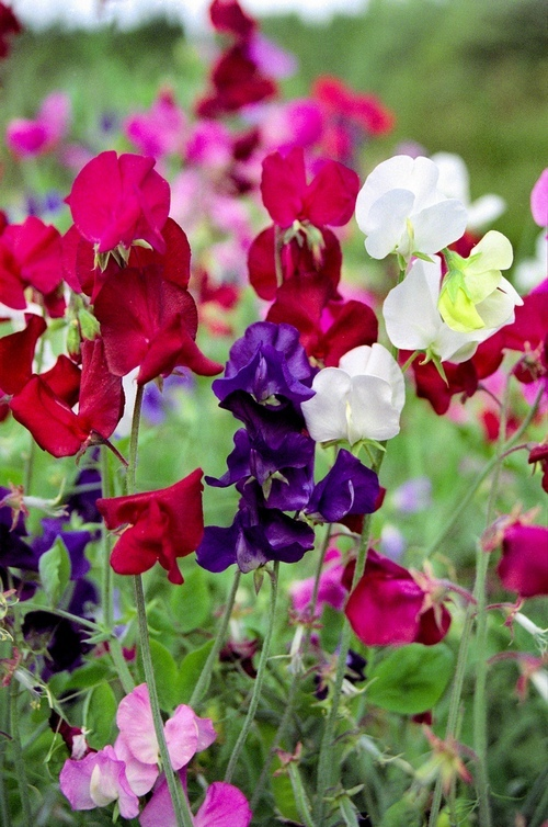 Growing sweet peas in Autumn