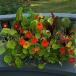 Nasturtiums growing in Poor Soil pretty show