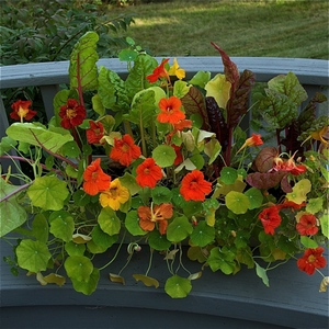 Nasturtiums Edible Flowers That Grow Even In Poor Soil
