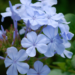 Plumbago Plant Hedge Plants