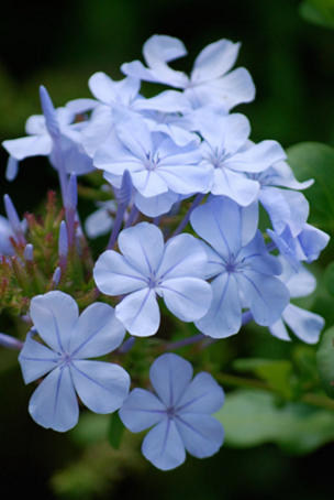 Plumbago plant blue drought hardy shrub