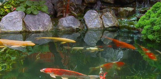 Ways to keep Your garden pond clean koi carp