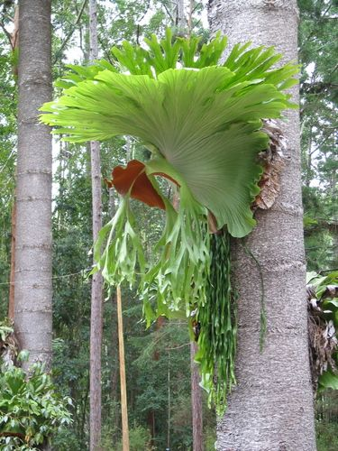 Staghorns and Elkhorns ferns, how to grow, forest growing, natural habitat
