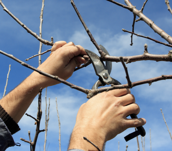 Example of where to prune an apple tree