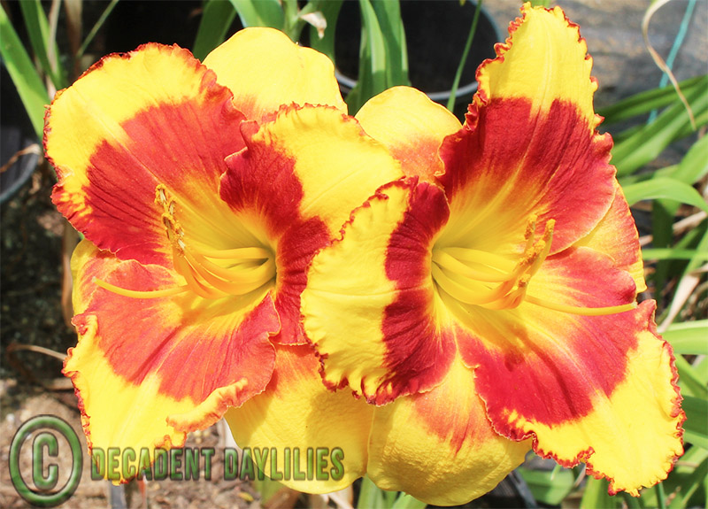 Caring for Daylilies by Seasons