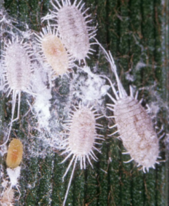 Control How to Get Rid Of Mealybugs?