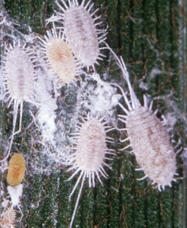 Get Rid Of Mealybugs Organic Control