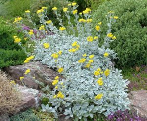 Silver Grey Foliage Plants Gardening Feather Scientific name: Tanacetum Densum