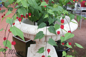Trailing Abutilon Chinese Lanterns