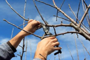 What You Need To Know About Growing Apple Trees Pruning an Apple Tree