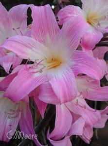 Naked Ladies Belladonna Lilies Growing March Lily Naked Lilies in Your Garden Pink
