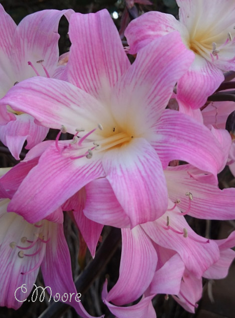 Naked Ladies Belladonna Lilies
