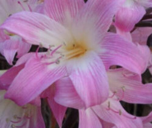 Pink Belladonna Lilies growing in my garden
