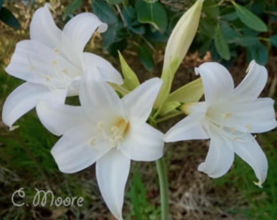 White Belladonna lily variety Hathor